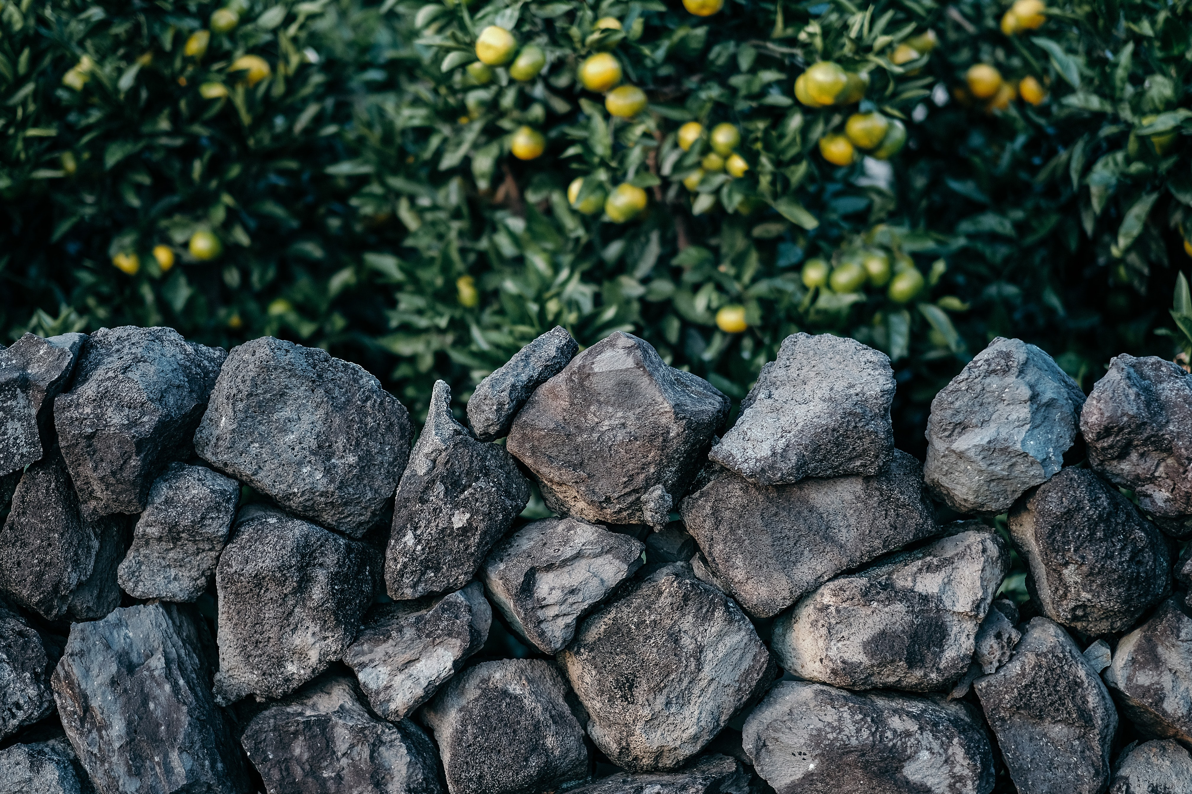 gray stone fence beside tree with green fruits
