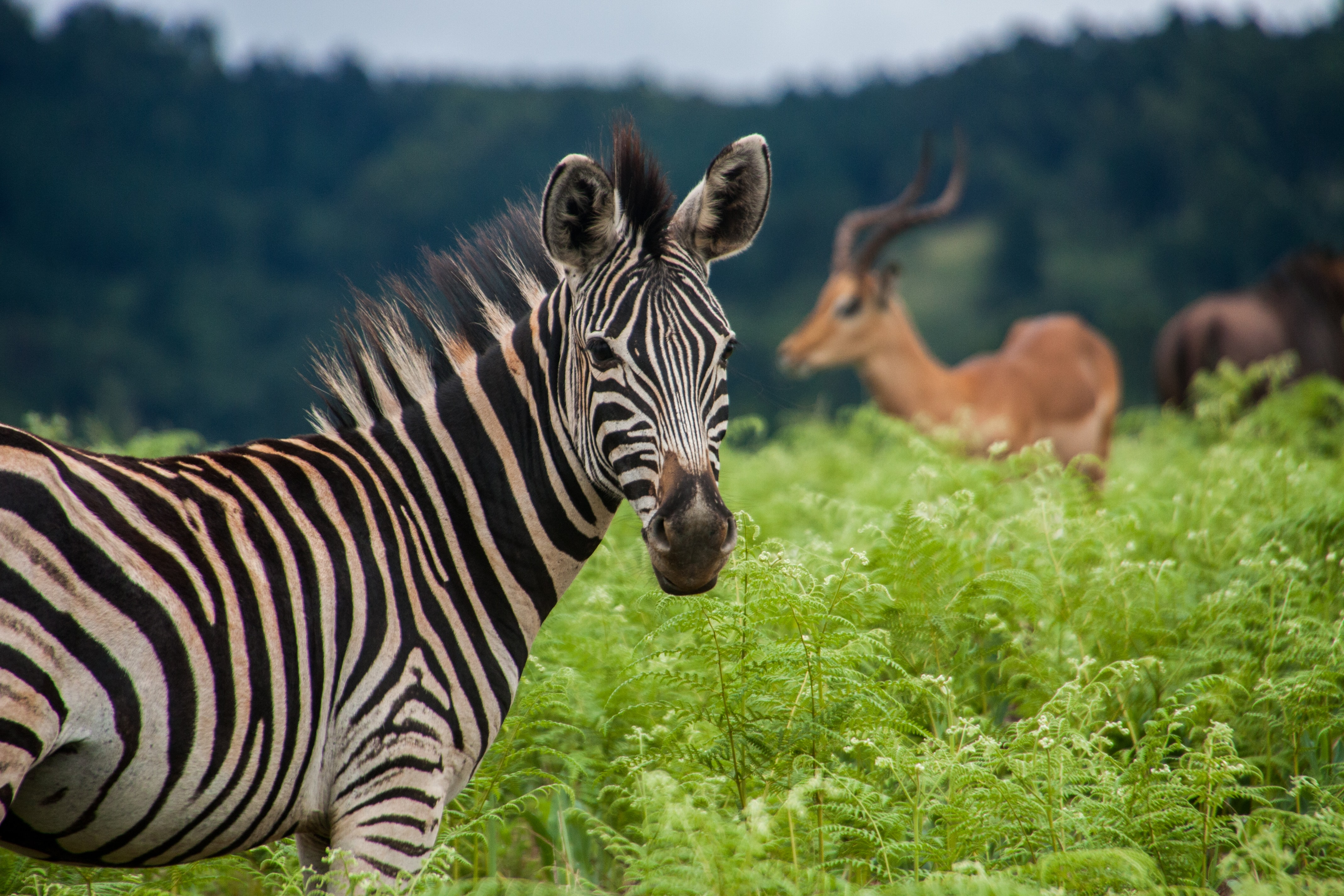 zebra on green long grass