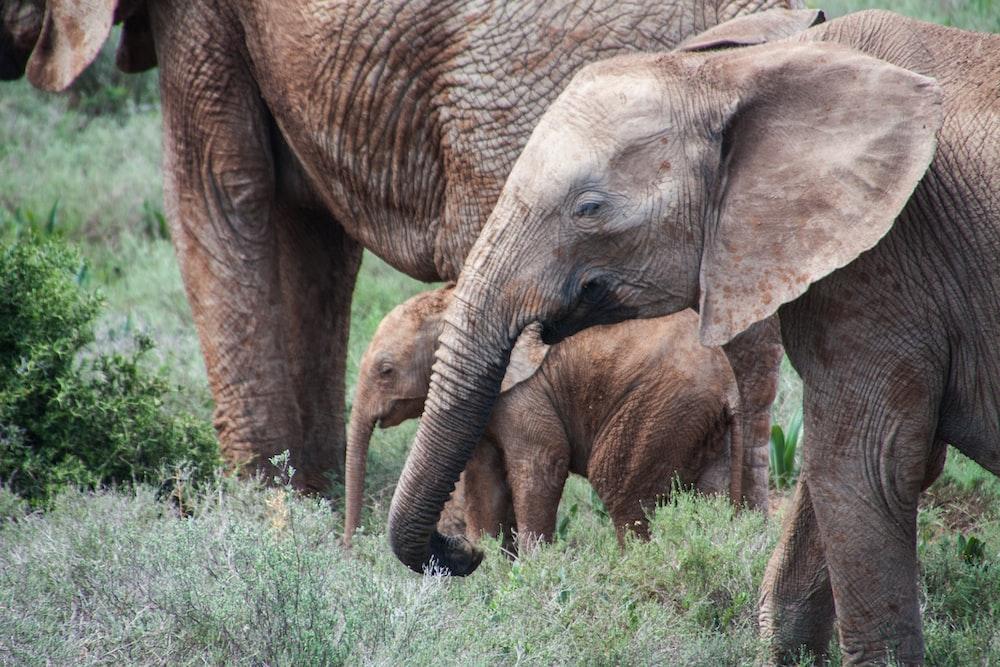 gray elephants on green grass