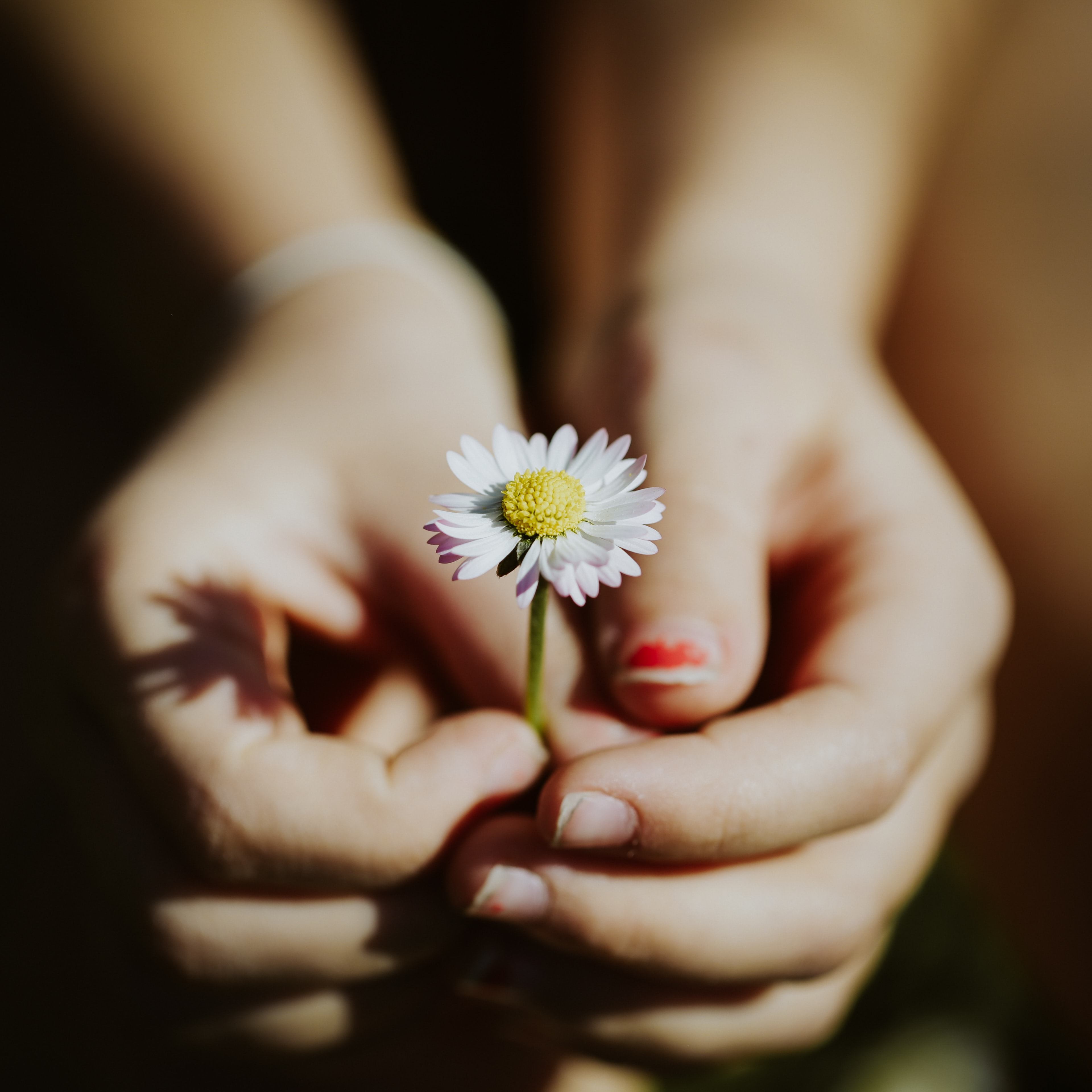 person holding white daisy flower