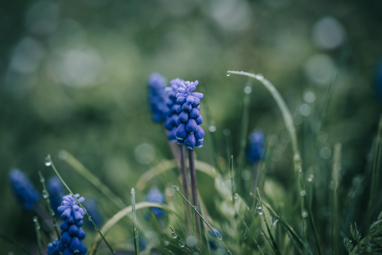 Muscari | Fall Gardening With 9 Stunning Perennial Flowering Bulbs
