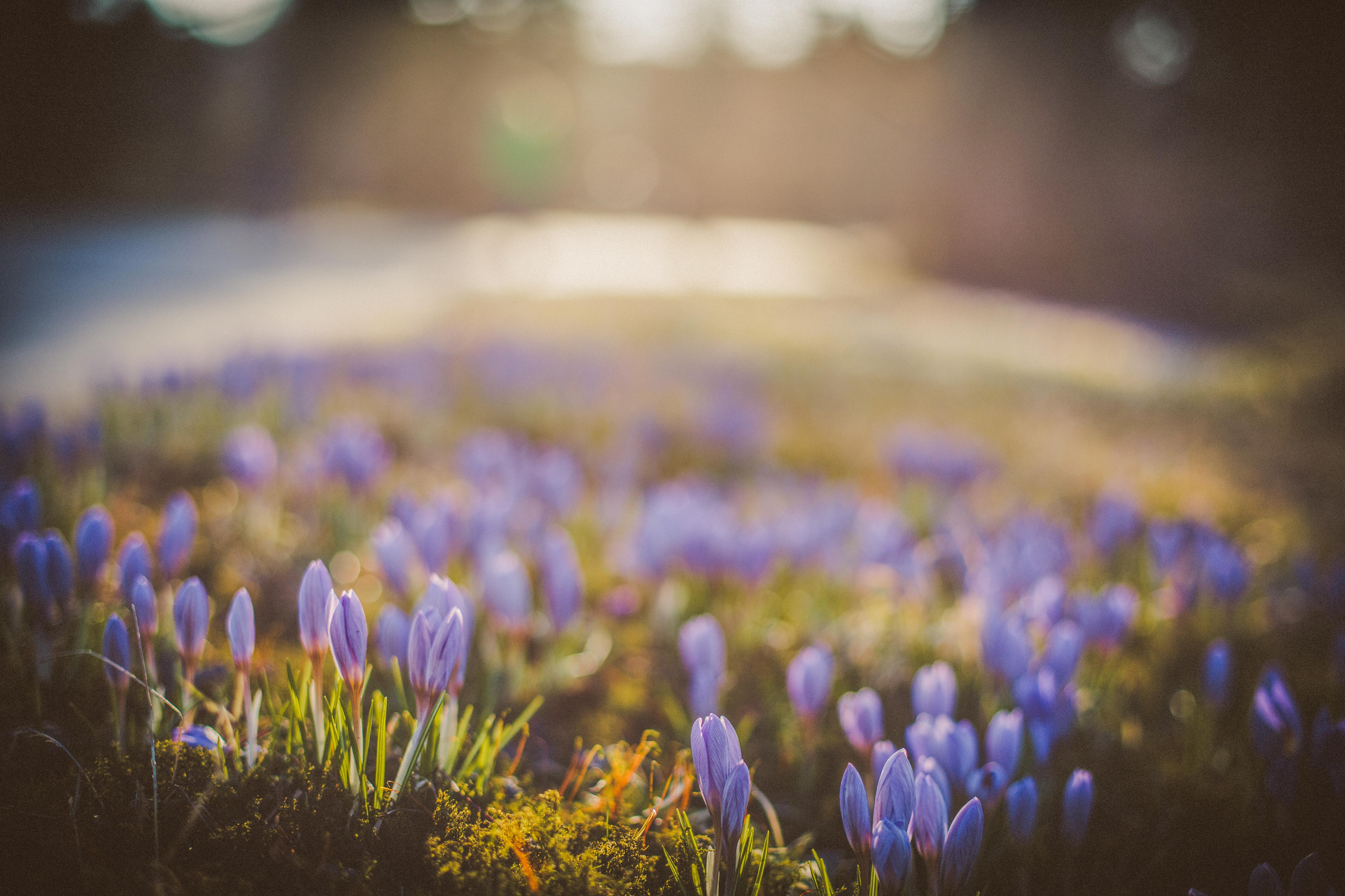 selective focus photography of purple petaled flower field