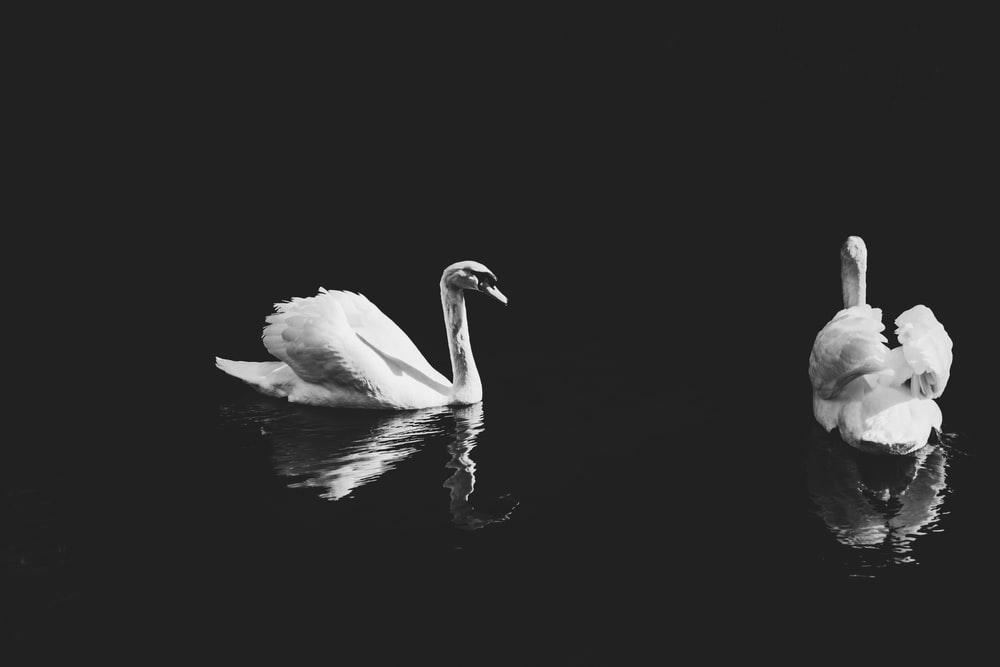 two swans on body of water