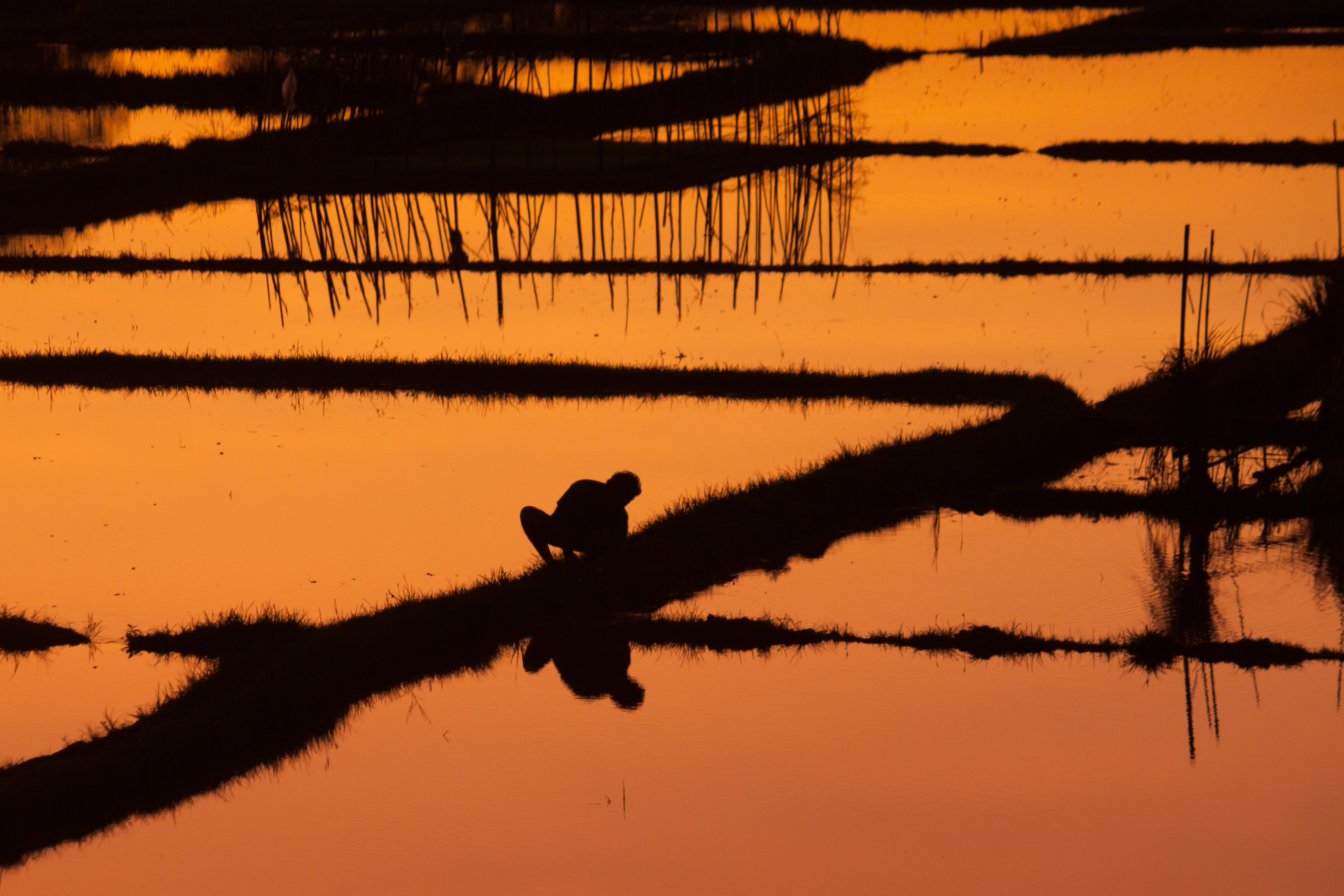 silhouette of person on rice field