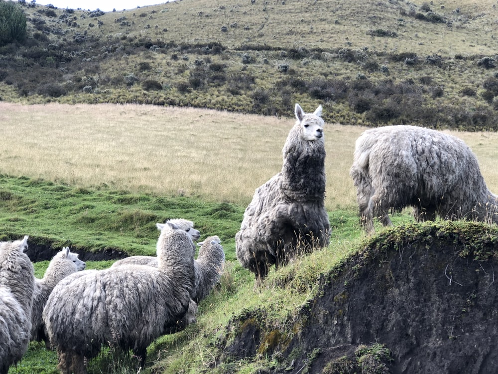 group of gray lamas standing on grass
