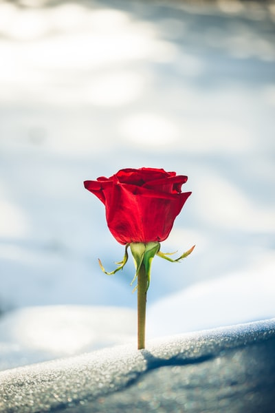 red rose flower in bloom