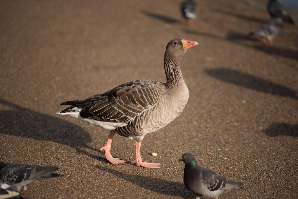gray duck beside pigeon