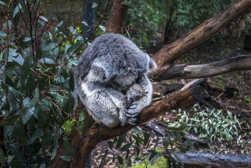 gray mother koala hugging baby koala