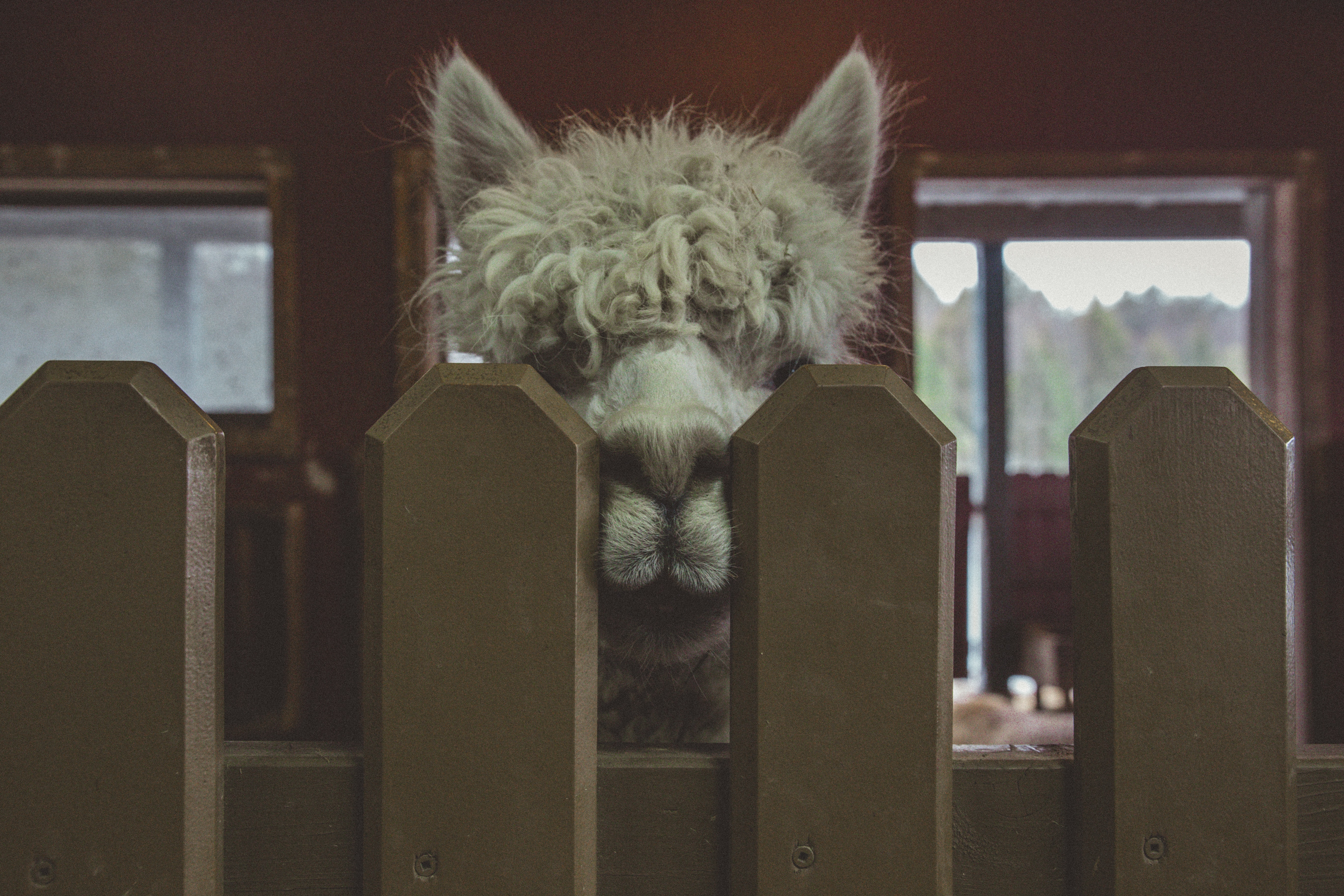 white llama on brown wooden fence