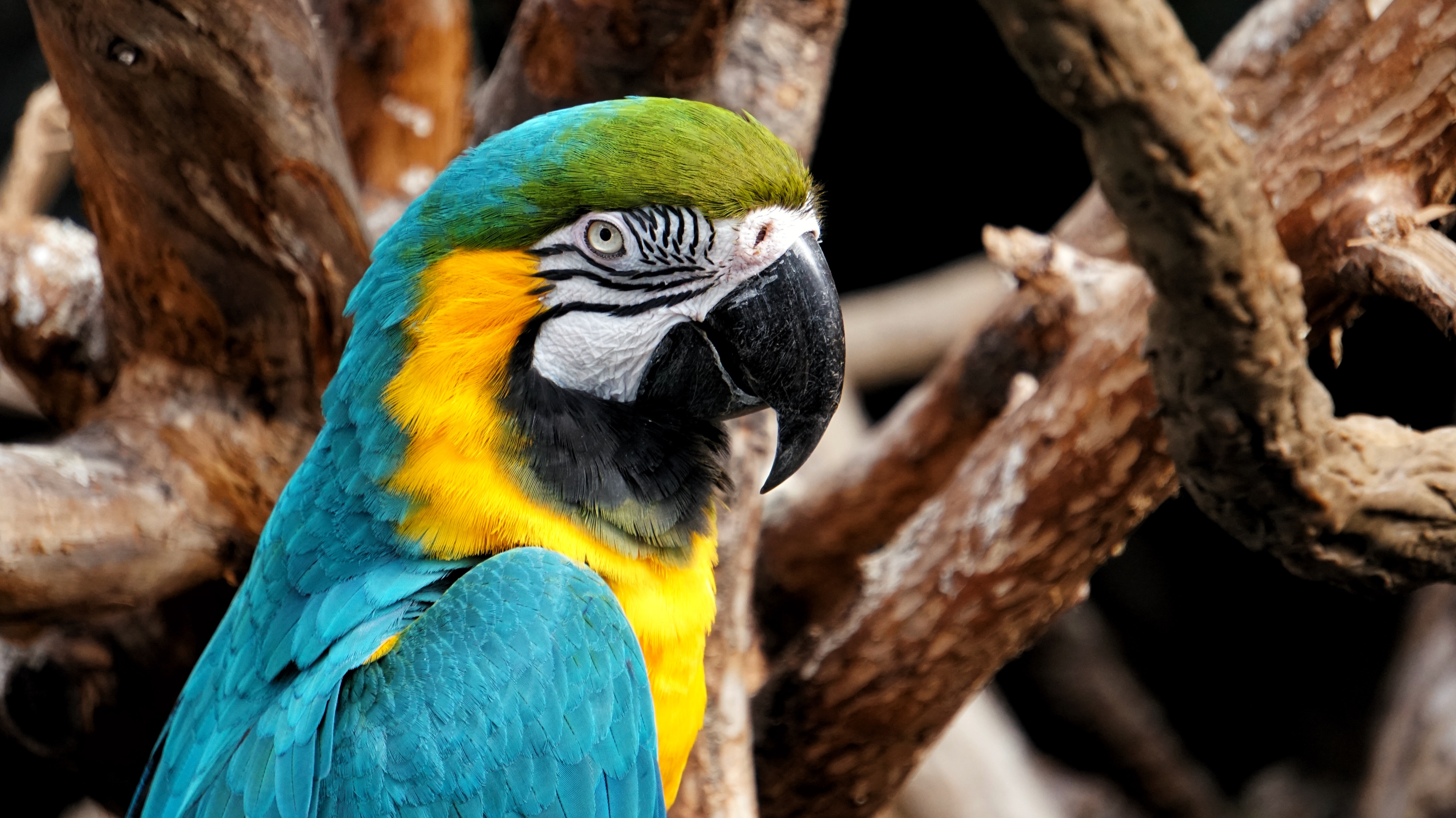 selective focus photo of yellow-and-blue macaw