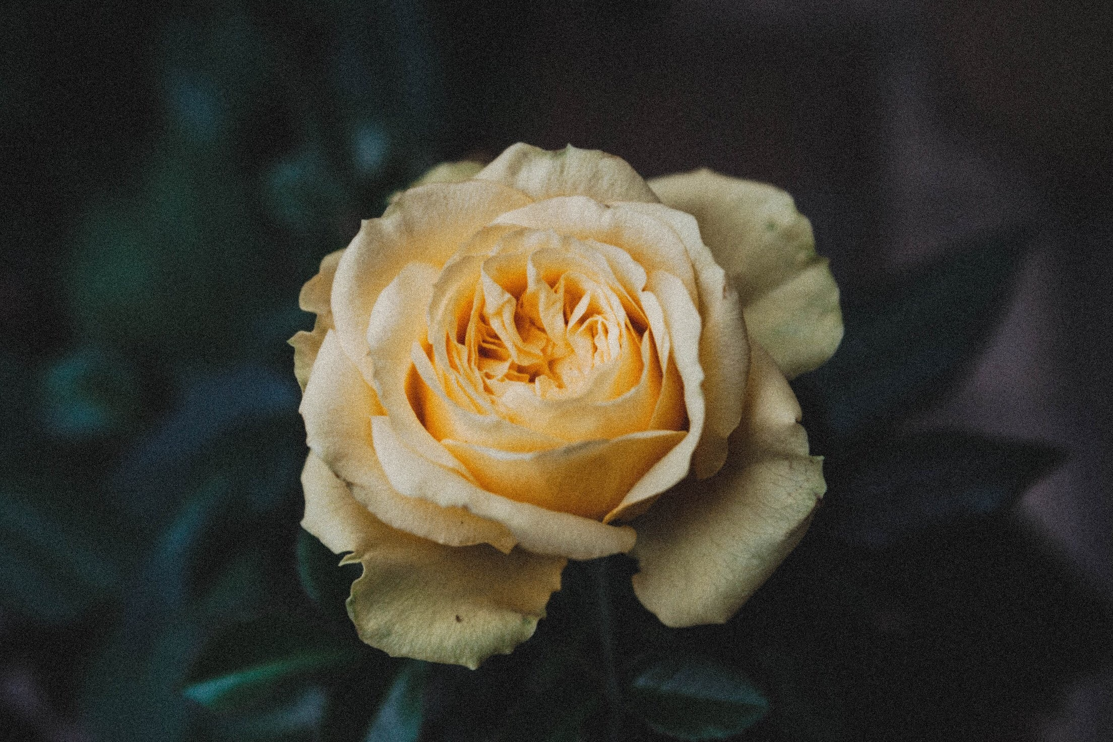 micro focus photo of a yellow rose