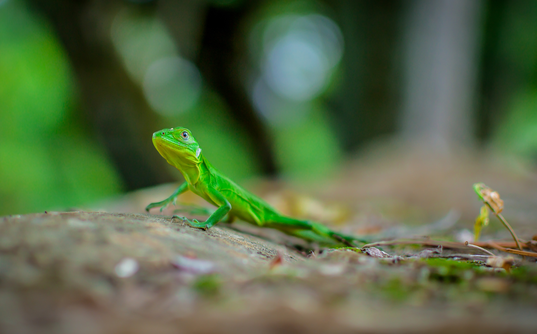 closeup photography of green lizard
