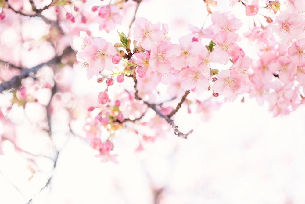 pink cherry blossom flower