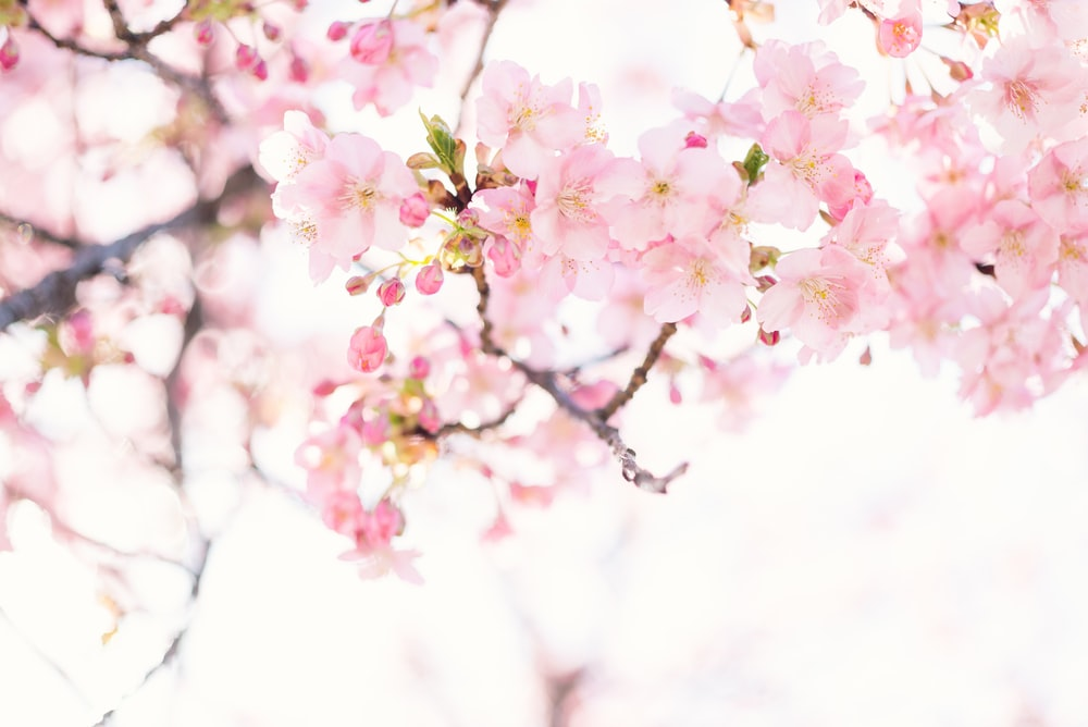20 best free cherry blossom pictures on unsplash pink cherry blossom flower mightylinksfo
