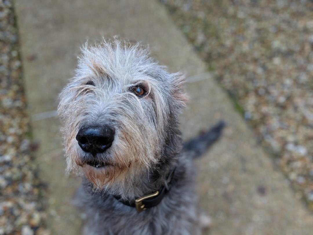 Meet Bloody, an Irish wolfhound dog
