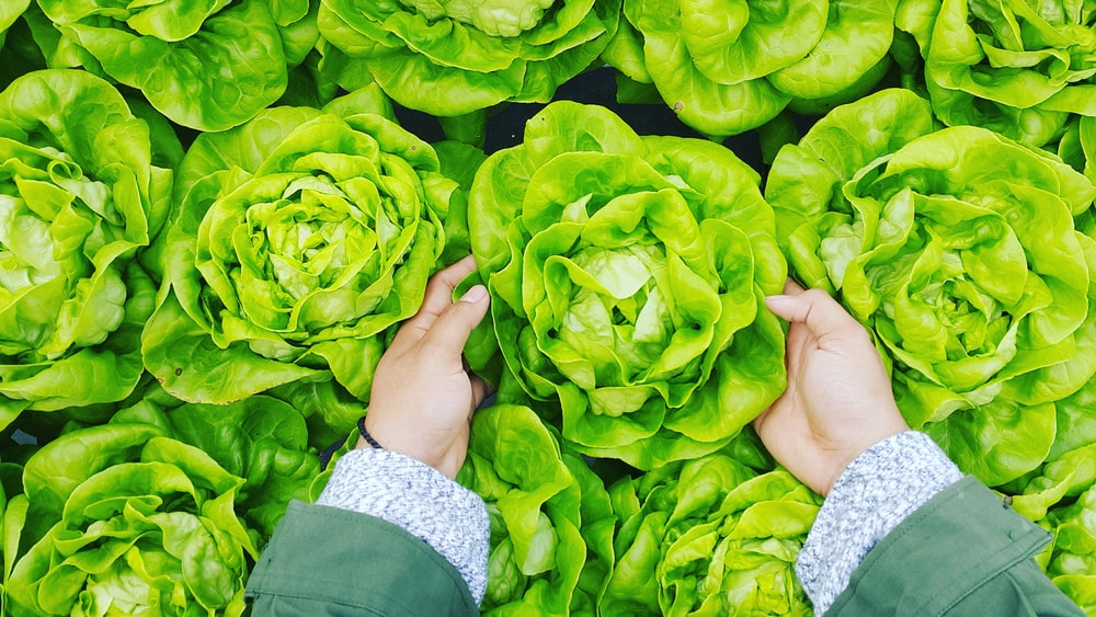 person picking green cabbage