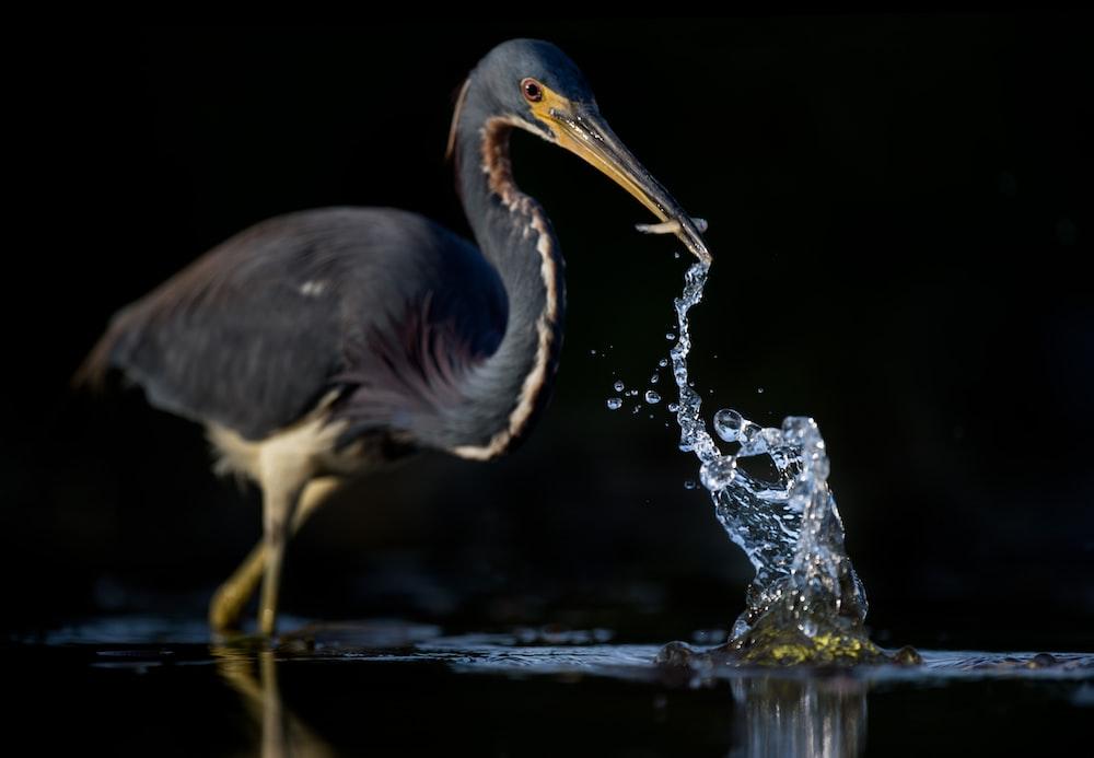 gray bird catching fish