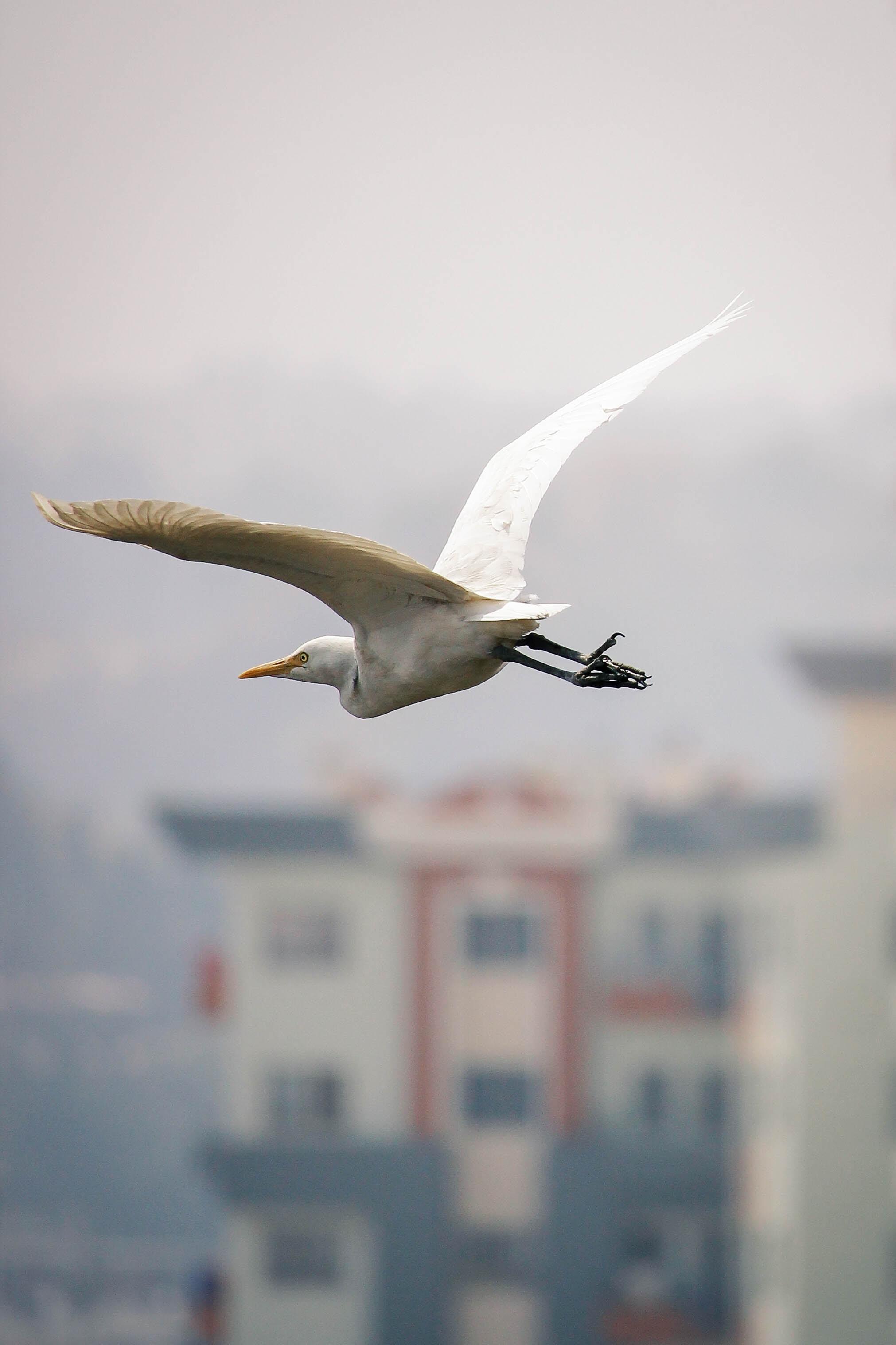 photo of white egret