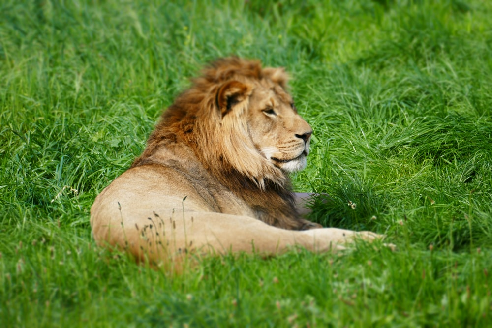 wildlife photography of lion laying on grass