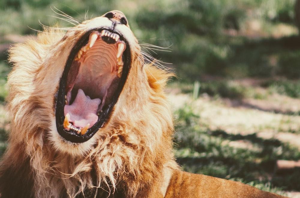 yawning lion on green grass during daytime