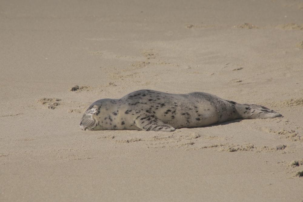 seal lying on brown sand