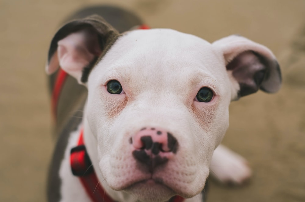 100+ Pitbull Pictures [HD] | Download Free Images & Stock