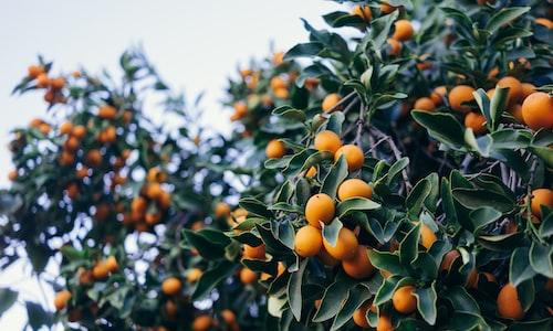 kumquats facts
