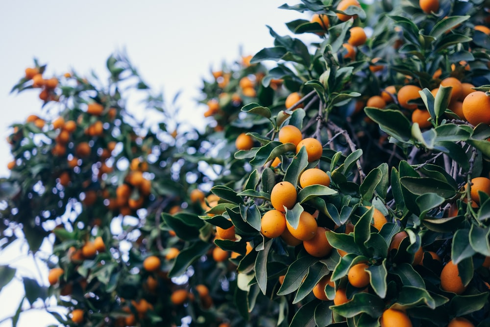 closeup photo of orange fruits