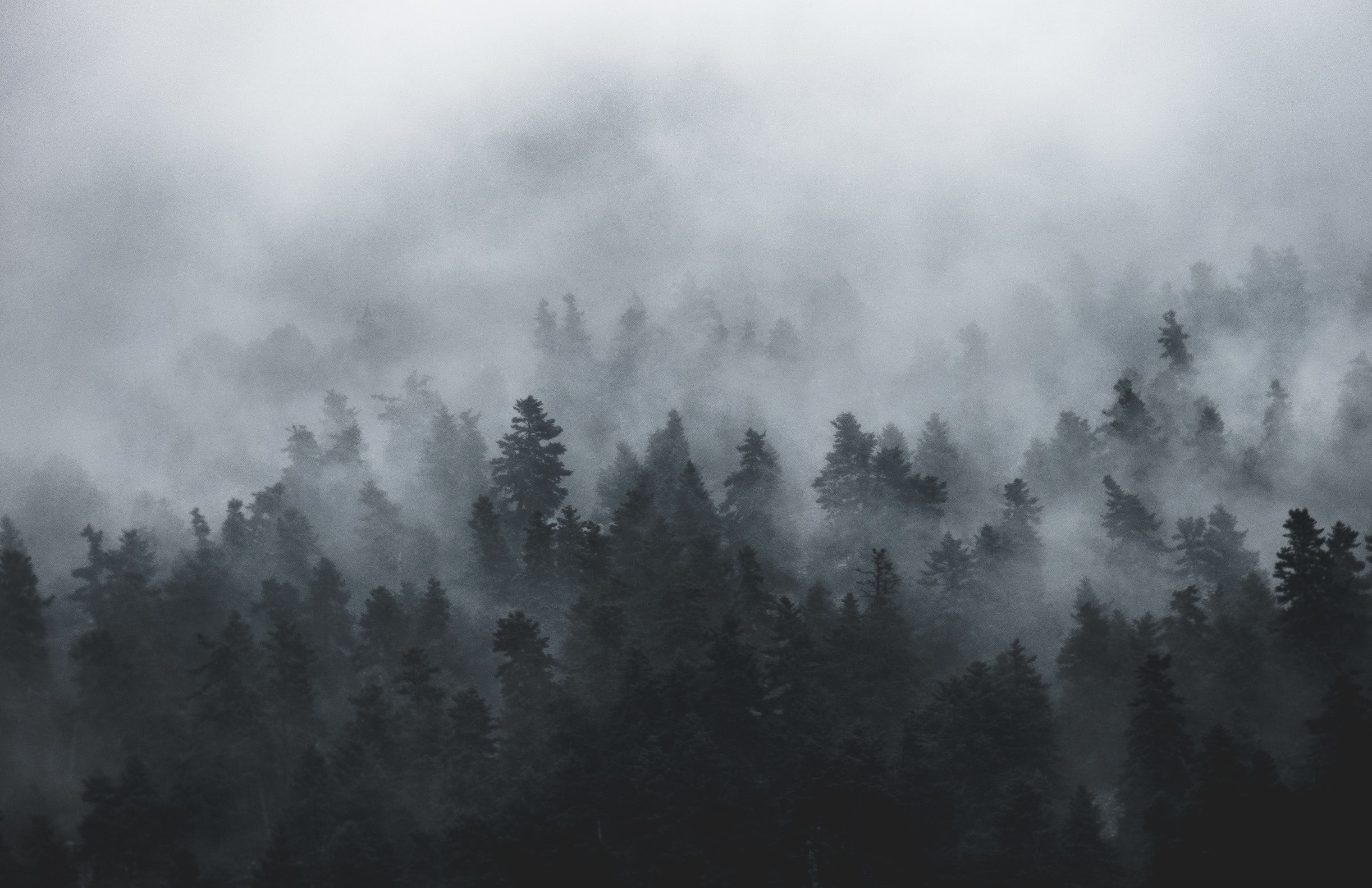photo of tall trees during foggy day