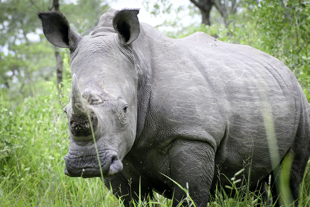 gray rhinoceros on grasses