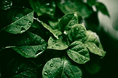selective focus photography green leaf plant with dew leafe teams background