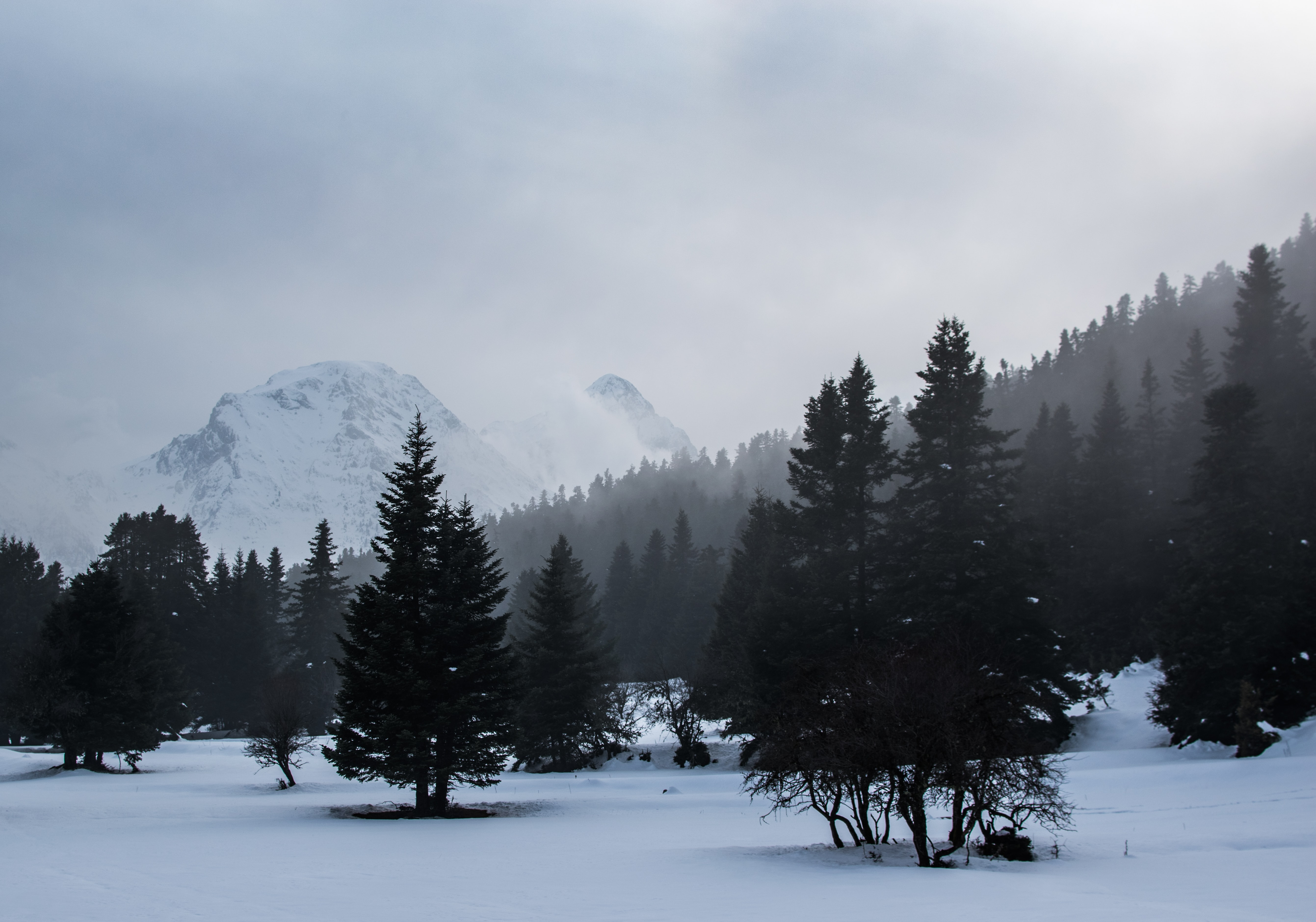 pine forest covered by snow and mist