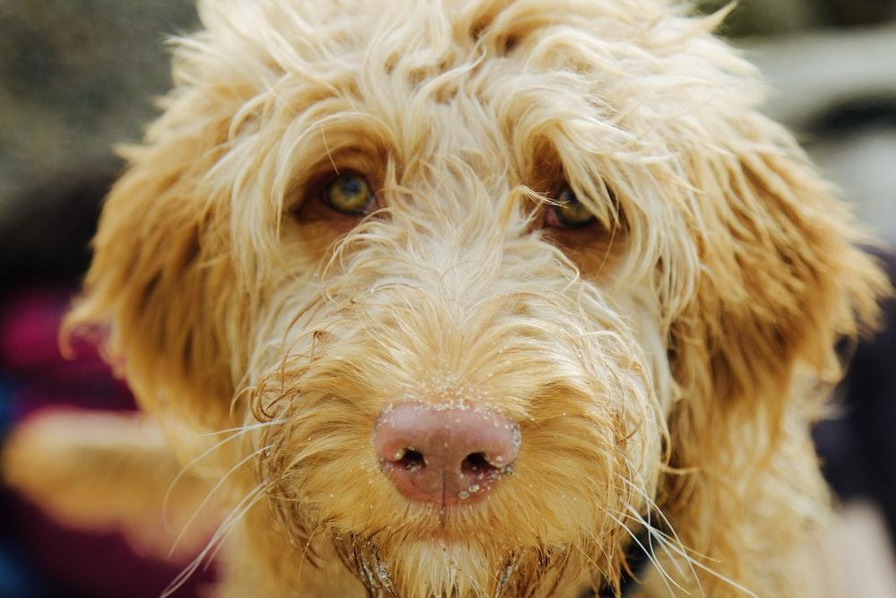 closeup photo of long-coated brown dog