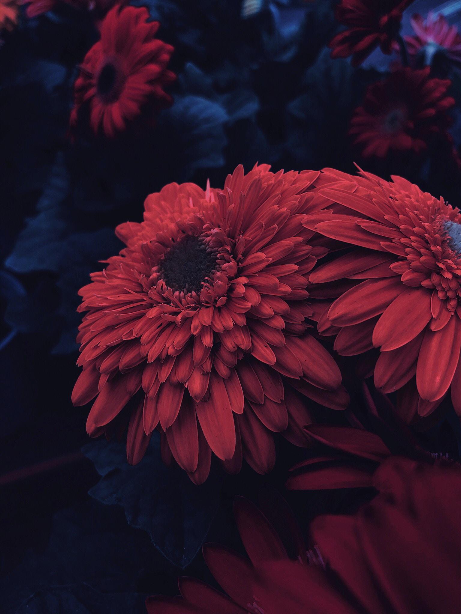red petaled flowers