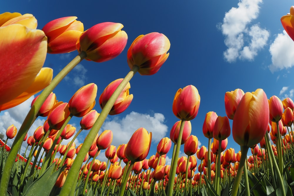 worm's eye view of tulips
