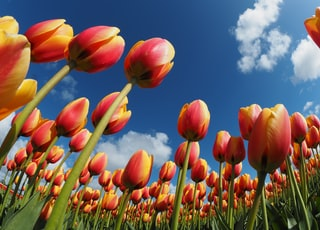 worm's eye view of tulips