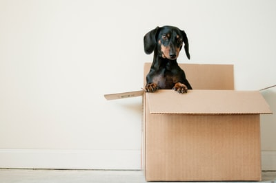 black and brown dachshund standing in box box teams background