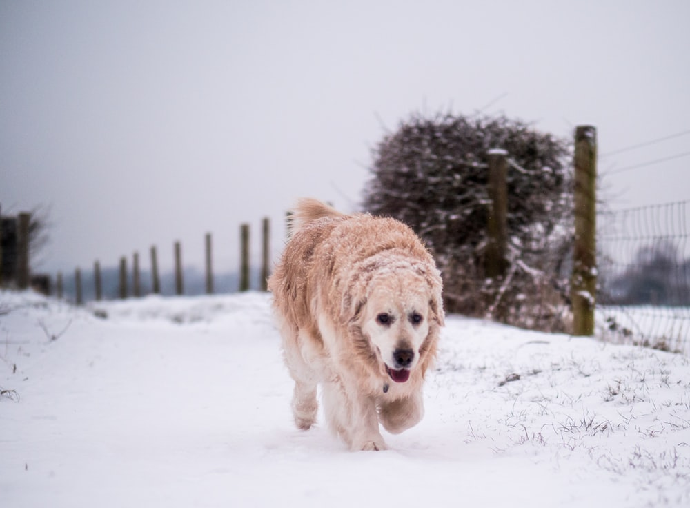 brown dog walking through to gate