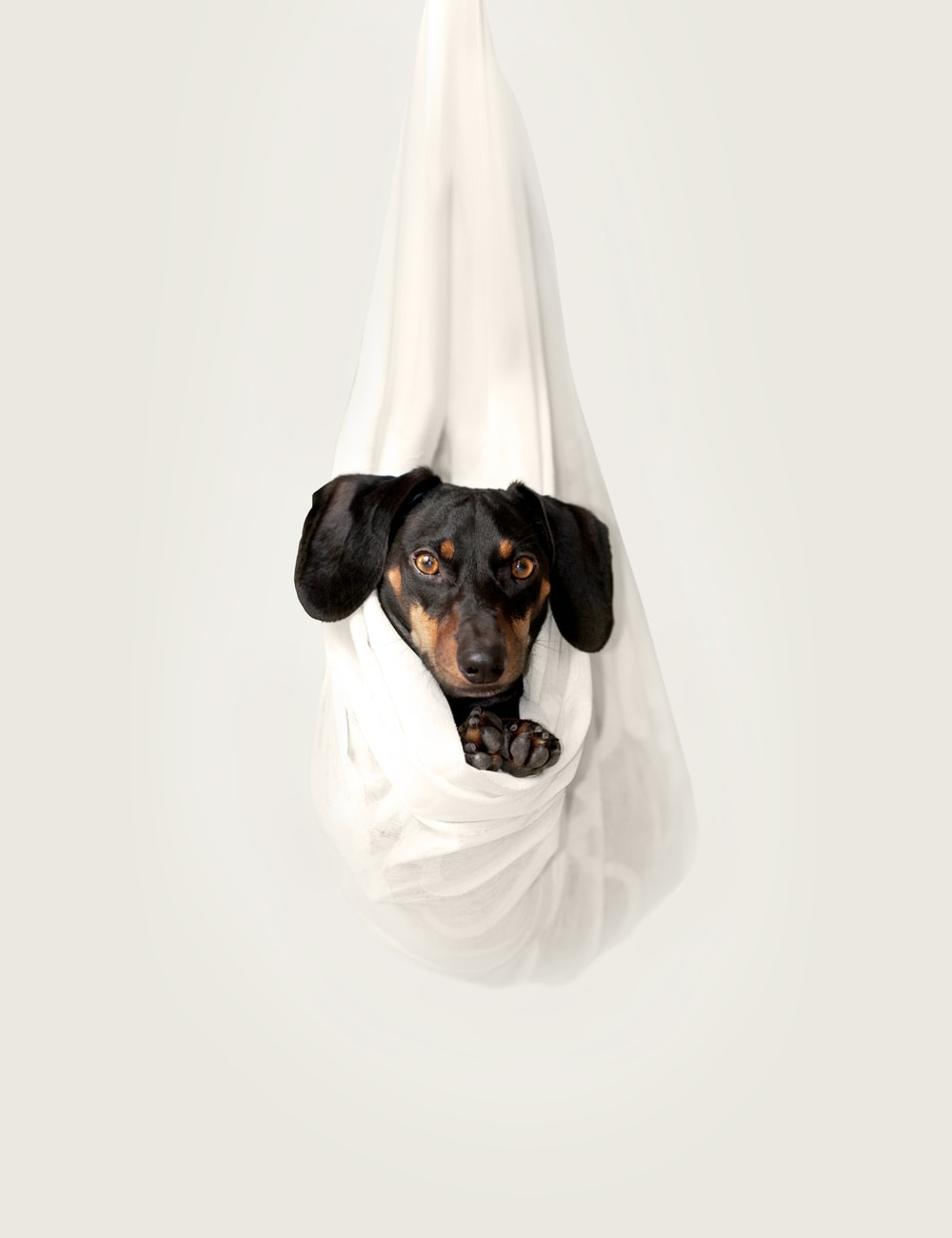 Dachshund resting on white hanged fabric