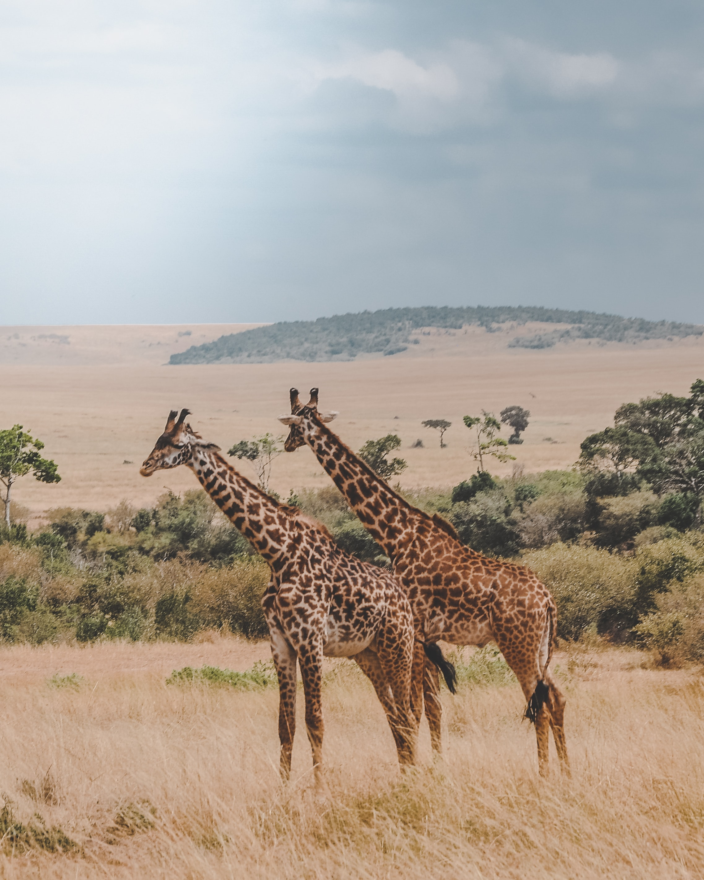 two giraffes standing on brown plants