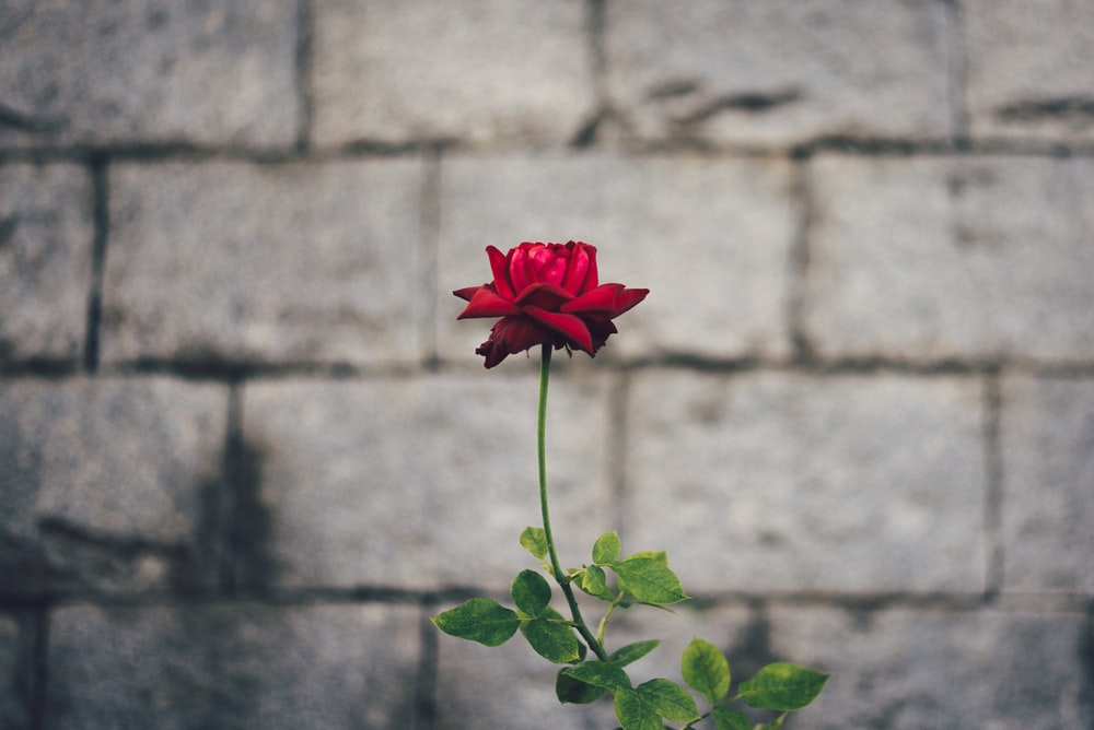 red rose flower by gray concrete brick wall at daytime