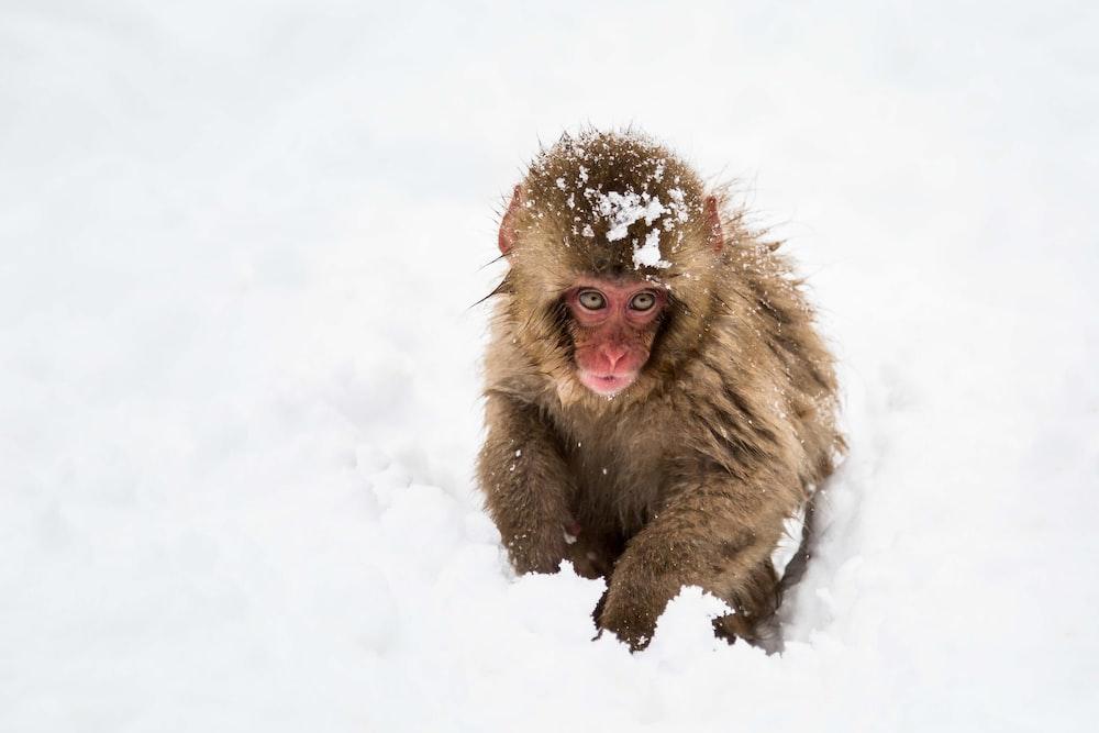 brown monkey sitting on snowfield