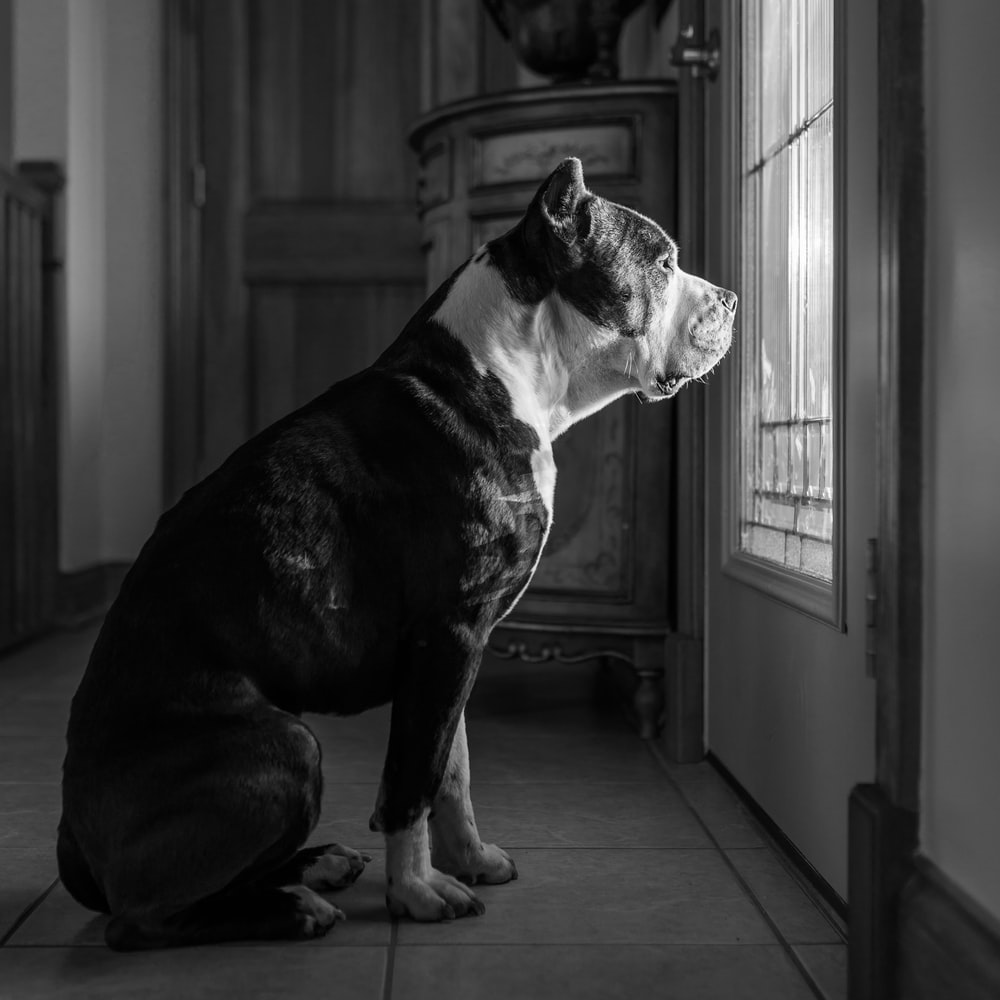 grayscale photo of dog staring outside through window