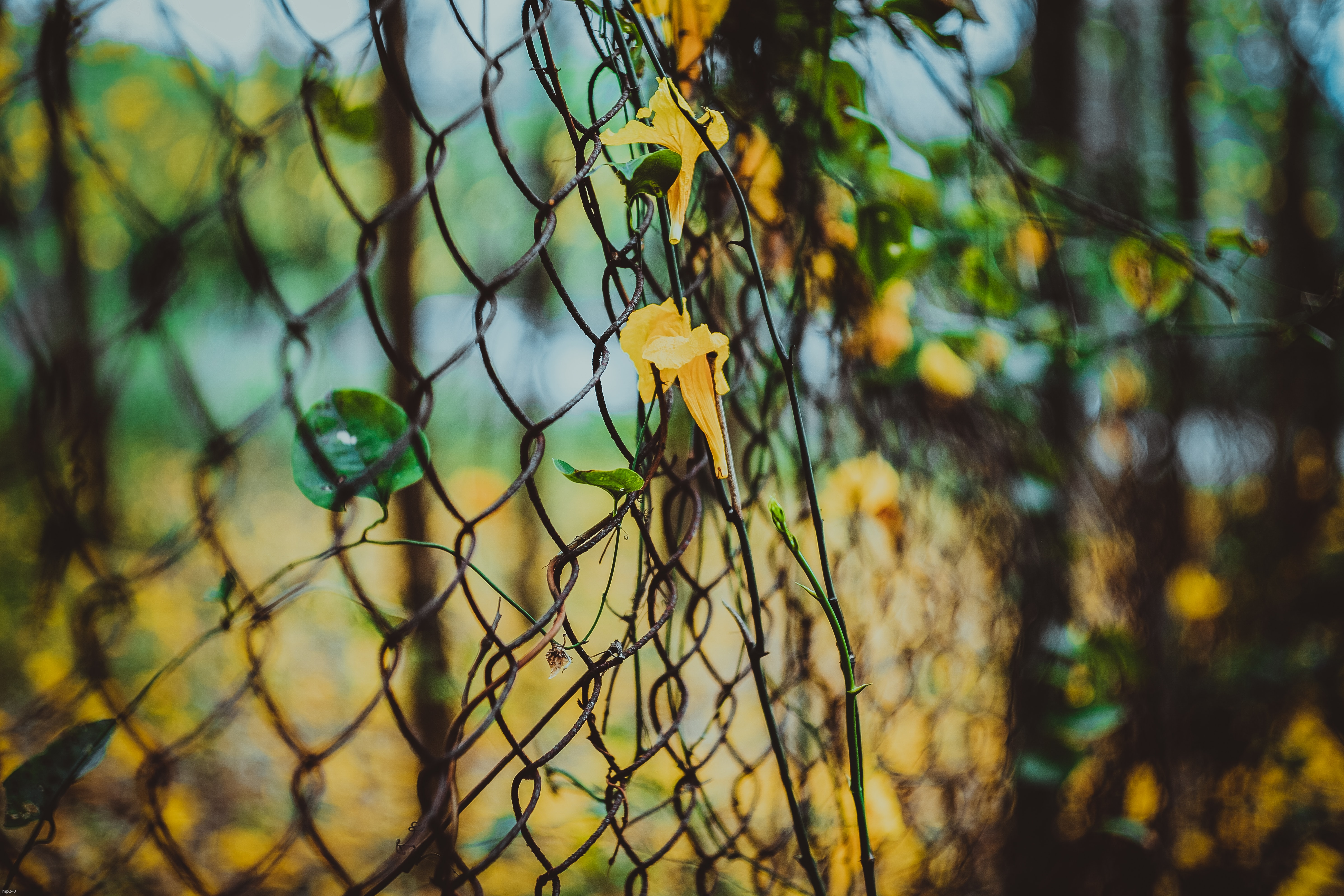 yellow flowers on black steel fence