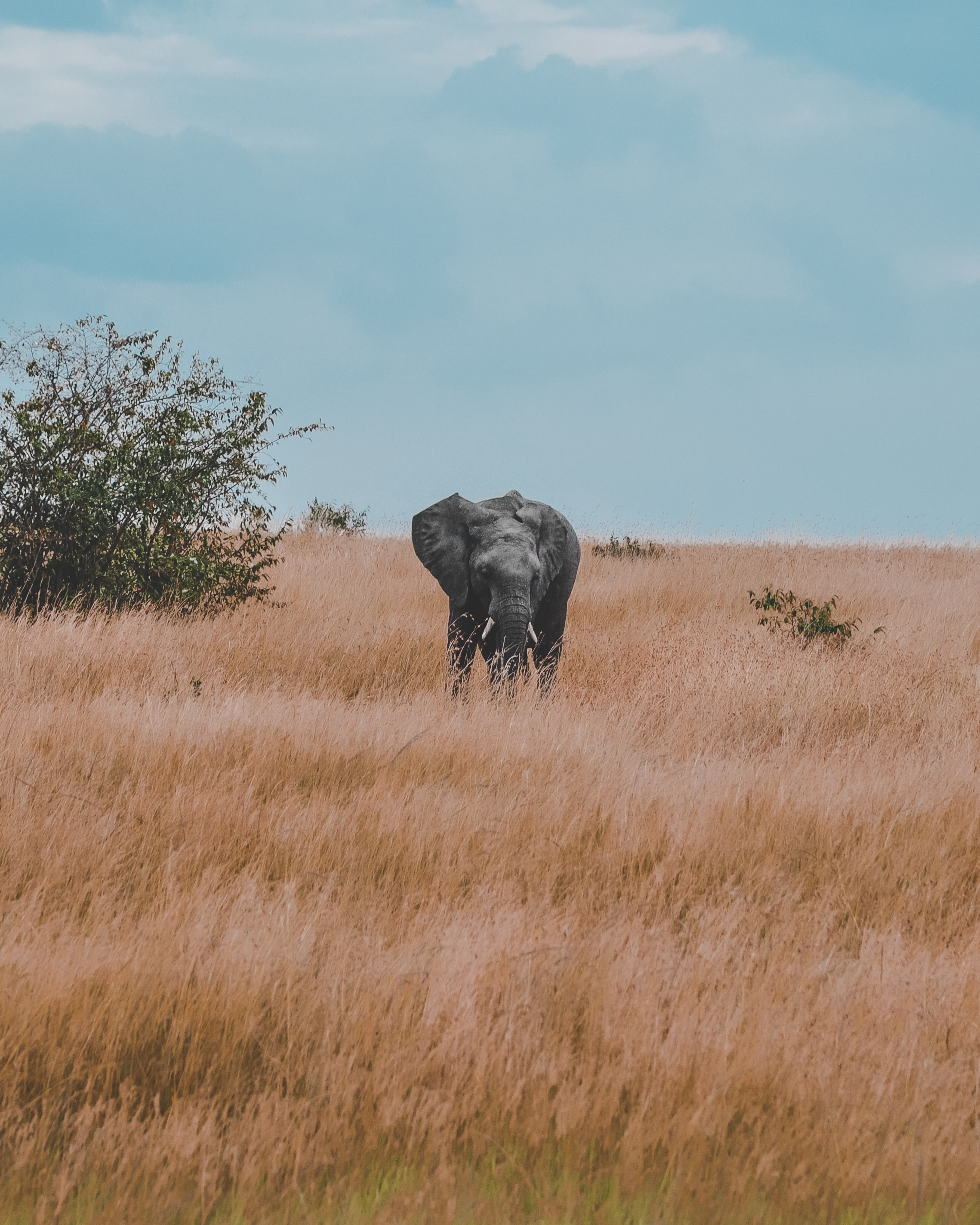 gray elephant standing in withered grass field