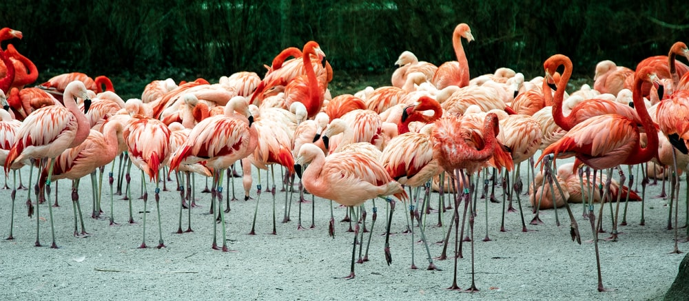 photo of group of flamingos