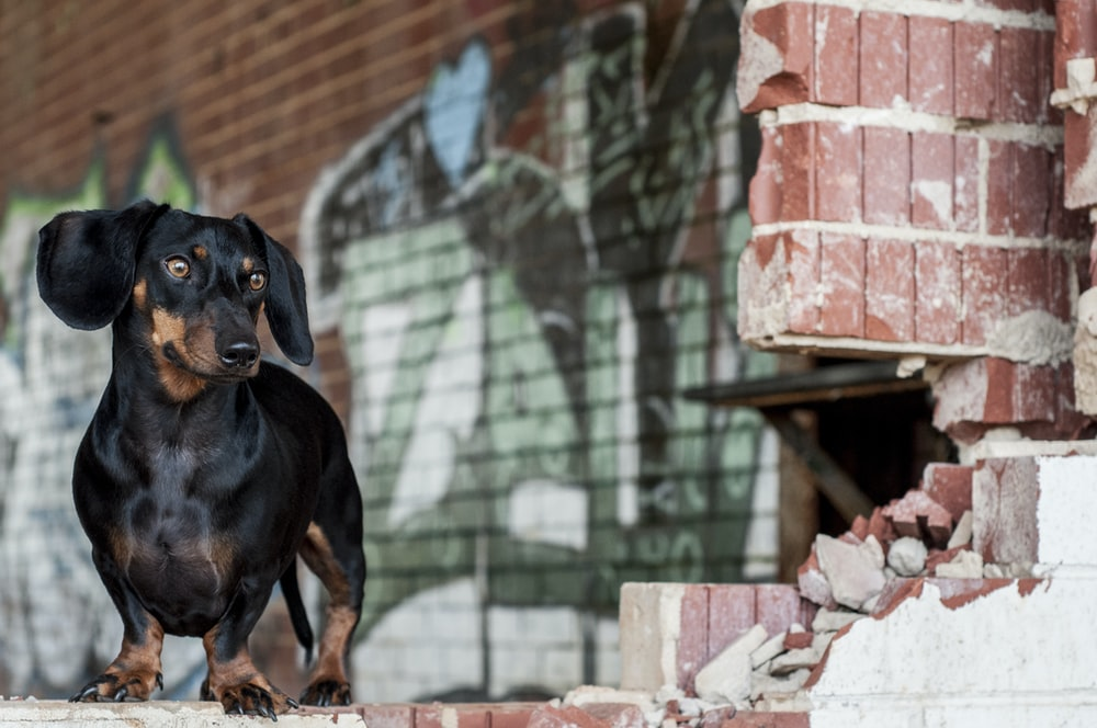 adult black and brown dachshund standing beside brick wall