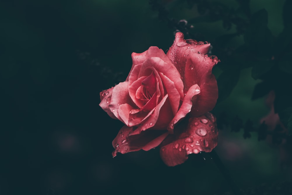 shallow focus photography of red rose with water drops
