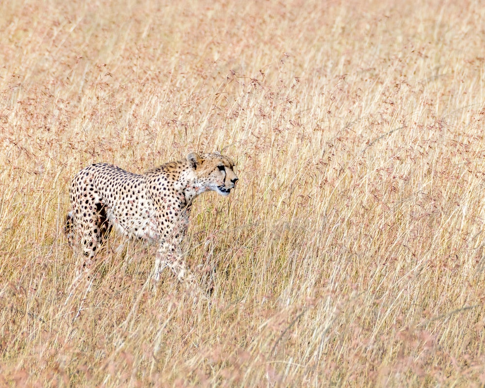 black and brown cheetah on brown grasses
