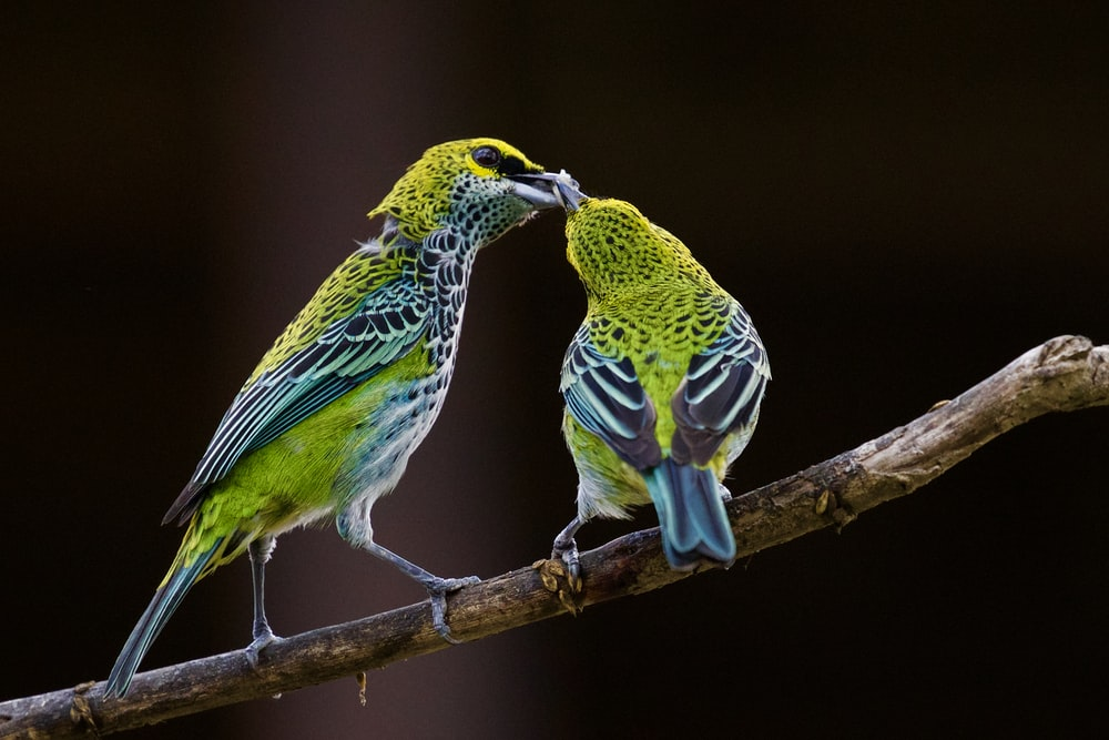 green and blue bird kissing each other
